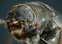 Forests: Canadian scientists decode pine beetle genome   Summit ...   ayubia national park   Scoop.it