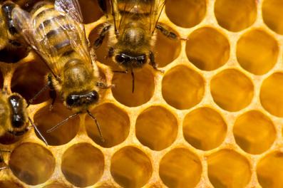 Bees Make More than Honey: The Health Benefits of Propolis ...   Manuka Honey Benefits   Scoop.it