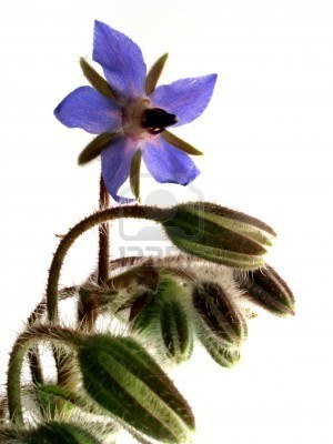 Borraja (Borago officinalis L.)   ECOLOGIA Y SALUD: Plantas aromáticas y medicinales.   Scoop.it
