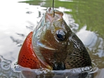 North American Freshwater Fishing: Bluegill Sunfish Facts | Fun on the water | Scoop.it