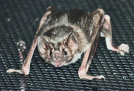 Vampire bats may help treat high blood pressure - Futurity: Research News | Bat Biology and Ecology | Scoop.it