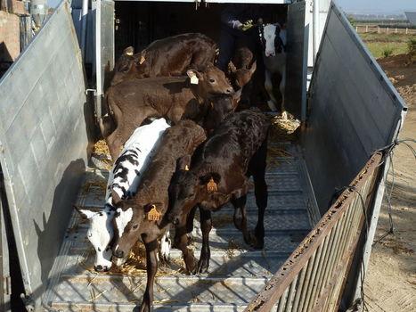 Le cruel transport des jeunes veaux au sein del'Europe | agriculture | Scoop.it