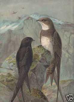 Mauersegler Alpensegler NAUMANN Vögel LITHO von 1899 | Gierzwaluwen | Scoop.it