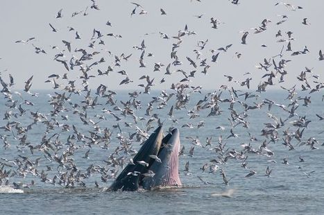 The #whales don't mix between ocean basins #Nature via @NWF  #SubSpecies ... | Rescue our Ocean's & it's species from Man's Pollution! | Scoop.it