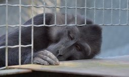 Brain experiments on primates are crucial, say eminent scientists   TOK Resources   Scoop.it