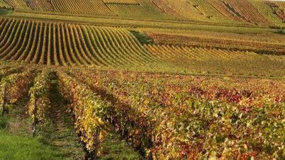 Un coup de chaud qui jette un froid sur la viticulture   Le Vin et + encore   Scoop.it