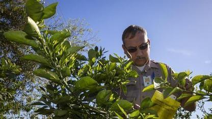 Arizona bracing for citrus-destroying insects   Arizona Republic   CALS in the News   Scoop.it