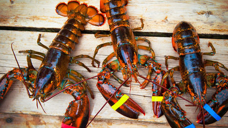 Lobsters were once only fed to poor people and prisoners | LibertyE Global Renaissance | Scoop.it