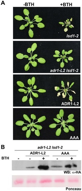 PLOS Genetics: Genetic Requirements for Signaling from an Autoactive Plant NB-LRR Intracellular Innate Immune Receptor | research on plant resistance gene for disease | Scoop.it
