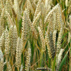 FOOD: Another strain of deadly wheat fungus in South Africa | Floriade 2022 | Scoop.it