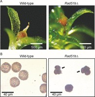 RAD51B plays an essential role during somatic and meiotic recombination in Physcomitrella | plant cell genetics | Scoop.it