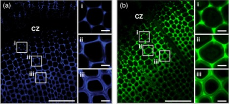 Visualization of plant cell wall lignification using fluorescence-tagged monolignols | Rhizosphere interactions | Scoop.it