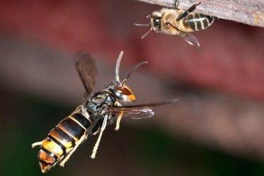 Pour protéger les abeilles des frelons asiatiques, testez la muselière - Terra eco | Abeilles, intoxications et informations | Scoop.it