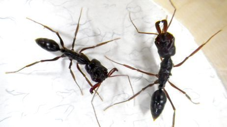 Tropical Trap-jaw Ants Spreading Across Japan's Honshu Island | All About Ants | Scoop.it