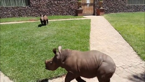 Adorable Baby Rhino Orphans Are Loving Life After Being Saved | What's Happening to Africa's Rhino? | Scoop.it