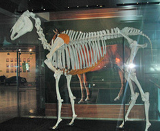 Phar Lap's DNA to be sequenced | Carriage Driving Radio Show | Scoop.it