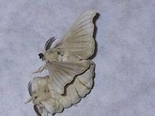Picture of a silkworm moth | Silk Worms of southern utah | Scoop.it
