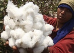 Burkina Faso cotton output soars 57.5 pct due to GMOs: producers | Modern Agricultural Biotechnology | Scoop.it