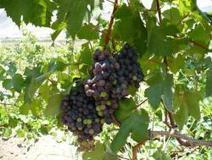¿Qué uvas son mejores las negras o las verdes? | Comer o no comer | News-mc | Scoop.it