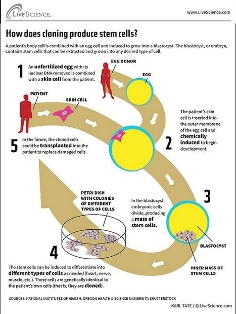 Infografía: ¿Cómo funciona la clonación de células madre? | Clonación. Las células madre. | Scoop.it