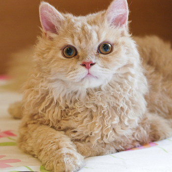 Selkirk Rex Cat | Cat Breeds Information | Scoop.it