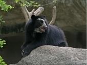 Enriquecimiento ambiental con osos de anteojos | anfesaa2486 | Scoop.it