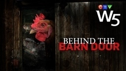 #ignoble #shitty #canada > Hidden camera investigation reveals chicken slaughterhouse practices | Nature Animals humankind | Scoop.it