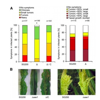 A Secreted Effector Protein of Ustilago maydis Guides Maize Leaf Cells to Form Tumors | Emerging Research in Plant Cell Biology | Scoop.it