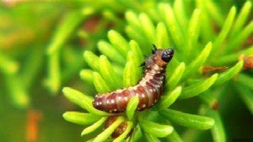 La tordeuse des bourgeons de l'épinette sous la loupe des scientifiques | EntomoNews | Scoop.it