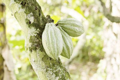 En Côte d'Ivoire, on détruit les plantations de cacao pour chercher de l'or   Confidences Canopéennes   Scoop.it
