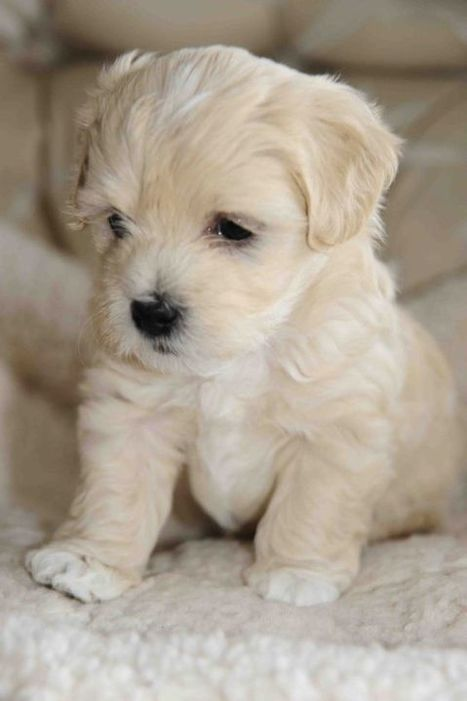 White Havanese Puppy | Dog Pictures - Pindoggy | Scoop.it