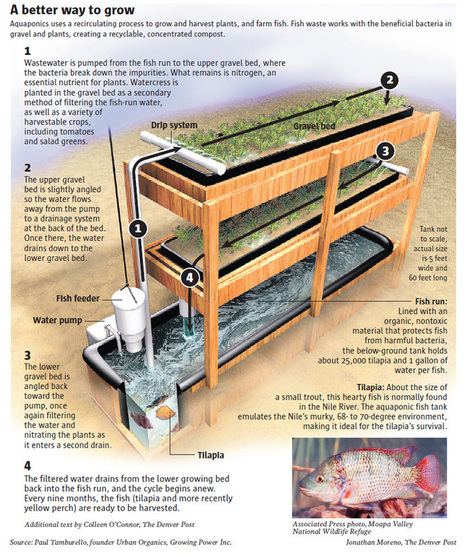 Simple Aquaponics System for Growing Your Own Food & Fish At Home | Tilapia et jardin | Scoop.it