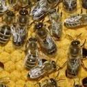 Pesticides : les abeilles ne sont pas encore tirées d'affaire - Enviro2B | Abeilles, intoxications et informations | Scoop.it