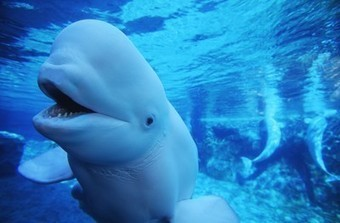 The Great White Whale Fight   Environment   Scoop.it