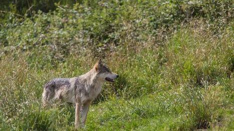 Le comptage des loups commence dans les Vosges | Loup | Scoop.it