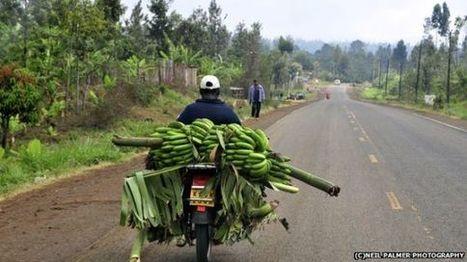 Глобальное потепление и рацион. Бананы заменят картофель | CGIAR Climate in the News | Scoop.it