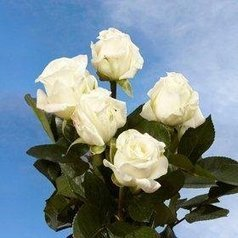 $@$   Garden Rose Alabaster 72 Roses Global Rose | Same Day Delivery Flowers | Scoop.it