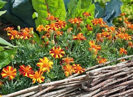 Potager jardin page 4 - Association de legumes au jardin potager ...