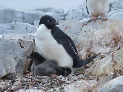 Penguin population could drop 60 percent by end of the century | GarryRogers Biosphere News | Scoop.it
