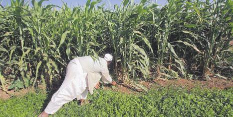 Kenya's hope of fixing maize shortage crisis | MAIZE | Scoop.it