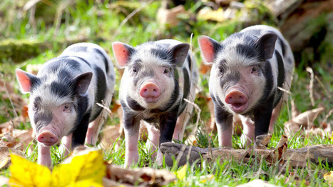 What do pigs and hogs pig eat? | Farming and the Countryside | Scoop.it