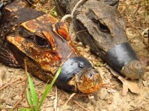 A la découverte des crocodiles cavernicoles d'Abanda au Gabon - Institut de recherche pour le développement (IRD) | Merveilles - Marvels | Scoop.it