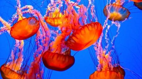 Que faire en cas de piqûre de méduse?   méduses   Scoop.it