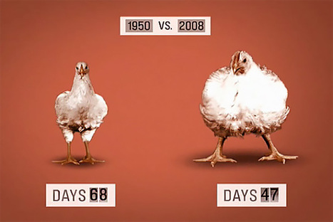 6 Facts About Chicken That Will Make You Seriously Rethink Your Dinner | Agriculture, Food Production & Rural Land Use Knowledge Base | Scoop.it