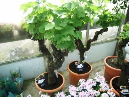 Vignes centenaires : gare à l'arnaque | Articles Vins | Scoop.it