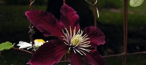 Clematis Vine Niobe, A Lush Deep Red | Ilona's Garden | Scoop.it