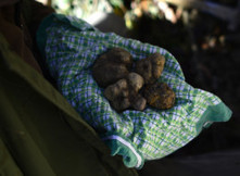 A Truffle Lesson from Le Marche by Tamara Griffiths | Le Marche another Italy | Scoop.it