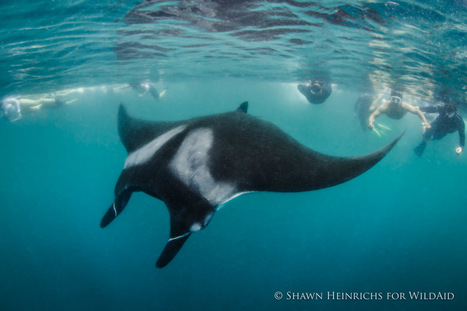 Peru Affords Full Protection to World's Largest Known Manta Population | Rays' world - Le monde des raies | Scoop.it