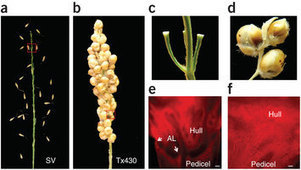 Parallel domestication of the Shattering1 genes in cereals | Agricultural Biodiversity | Scoop.it
