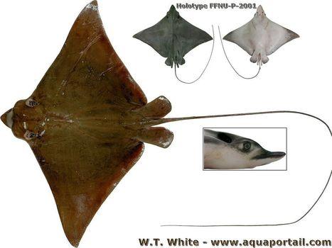 Une nouvelle espèce de raie aigle | Rays' world - Le monde des raies | Scoop.it